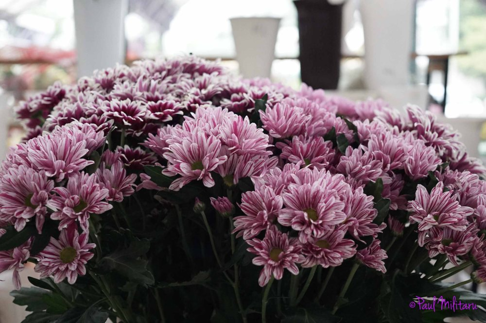 light purple chrysanthemums