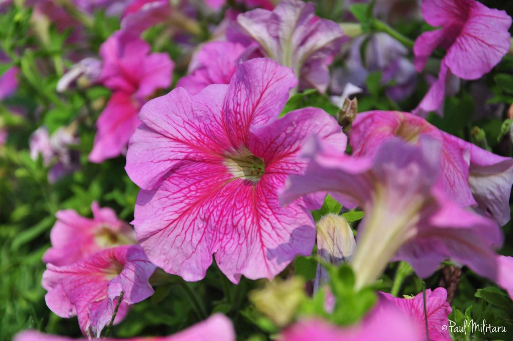 light purple petunias