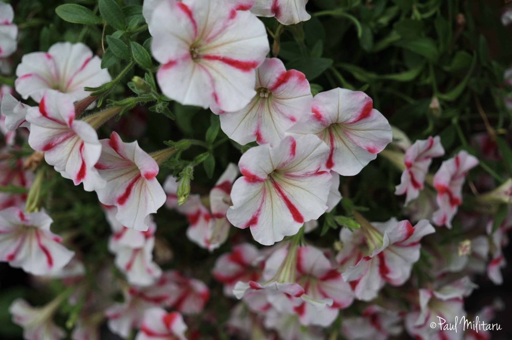 ornamental white and red petunias