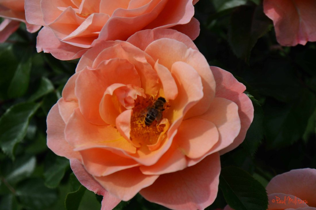 pink roses and a bee