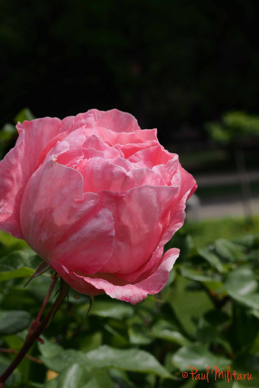 simply...a pink beauty