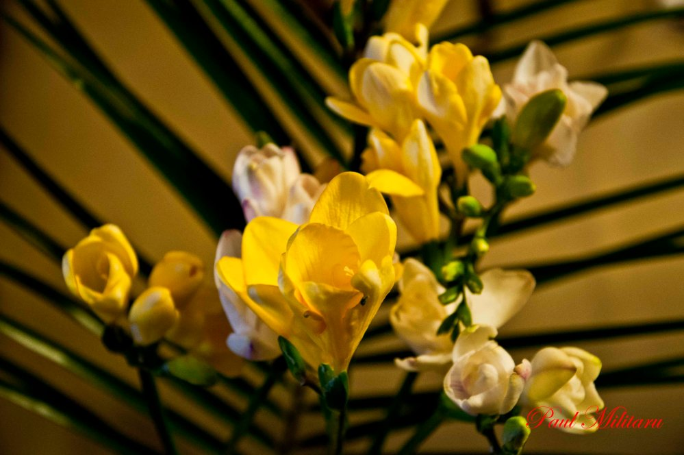fragrance of yellow freesia