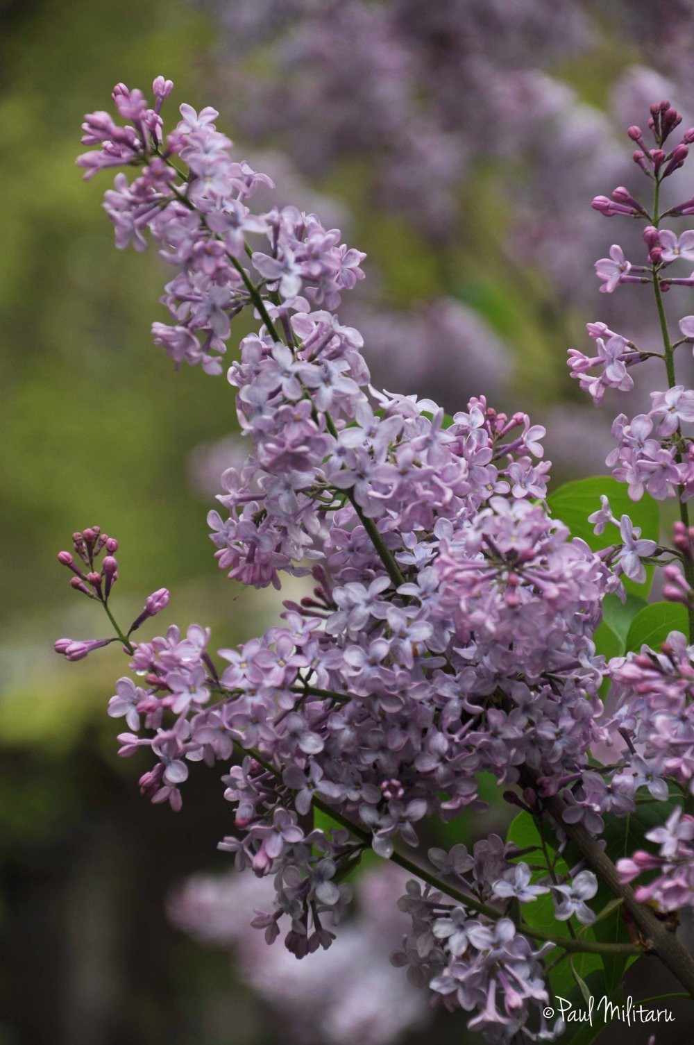 light purple lilac