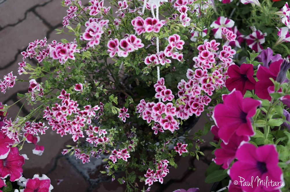 petunias and ornamental flowers