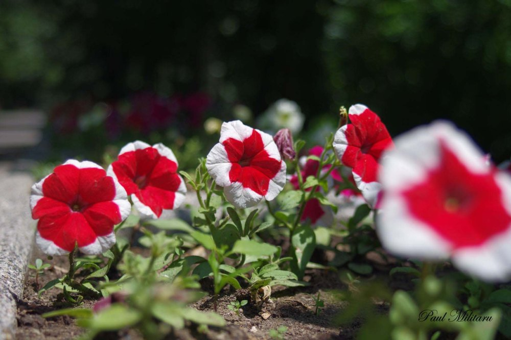 red and white pansies