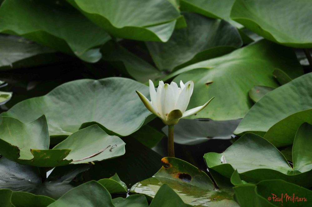 the purity of water lily
