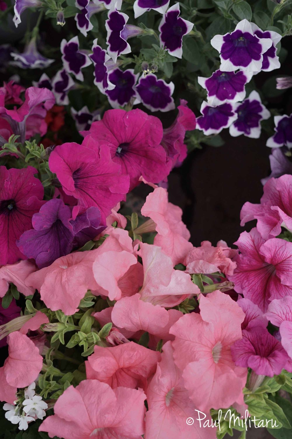 variously colored petunias