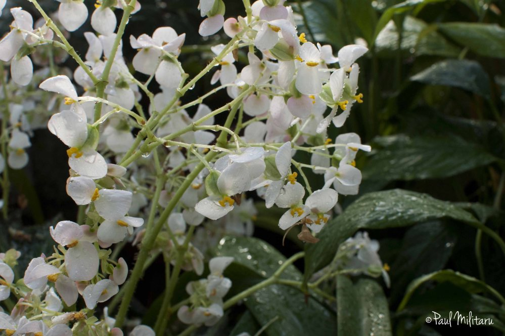 white flowers after rain