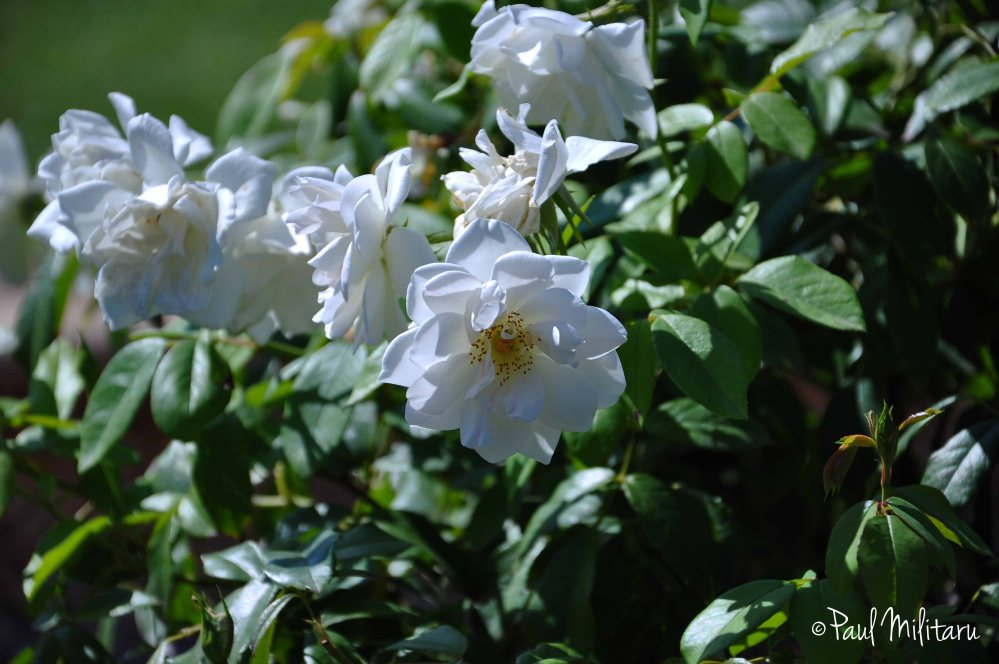 bush of wild white roses