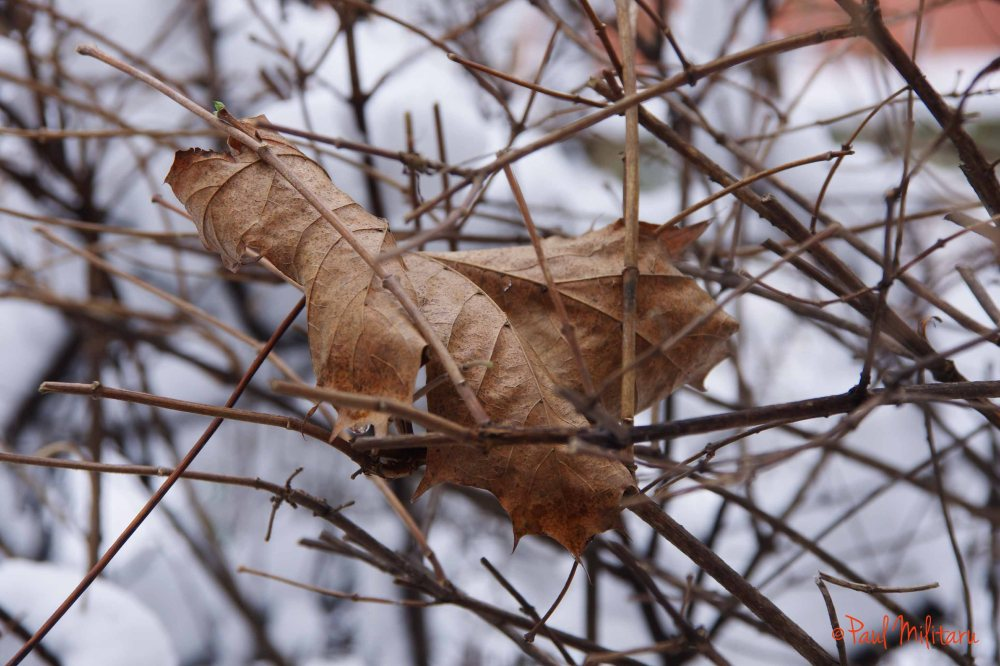 dry leaf under the burden of the first snow