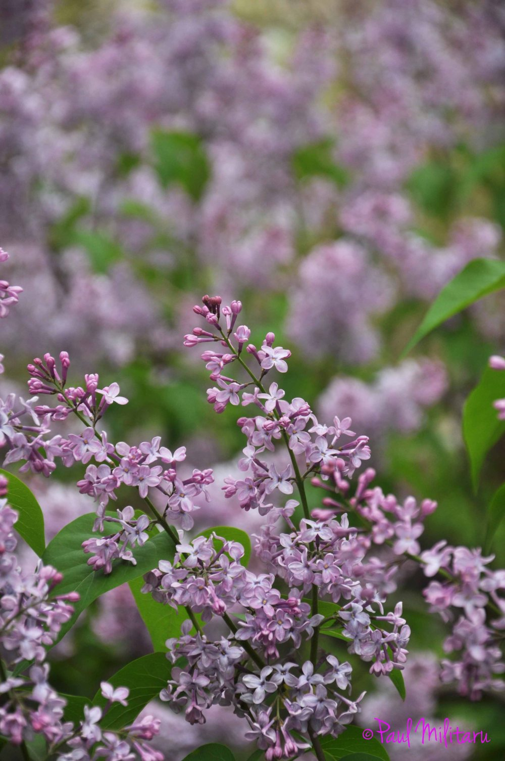 flowers scented of purple lilac