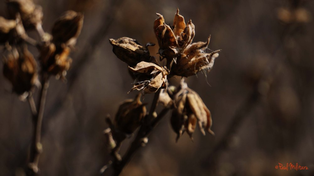 dried seed pods