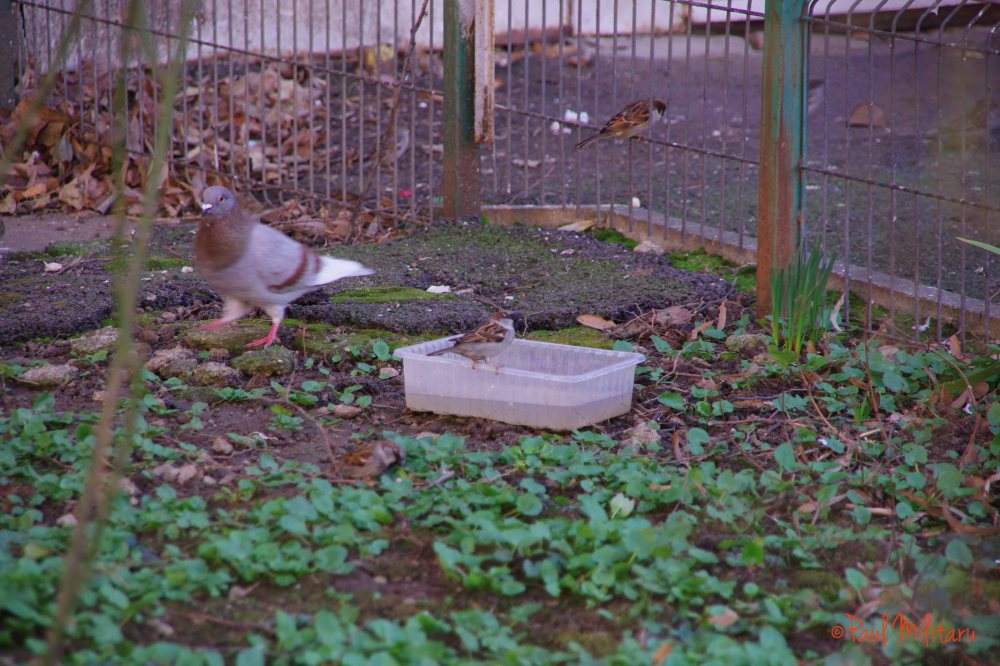 pigeon and sparrows