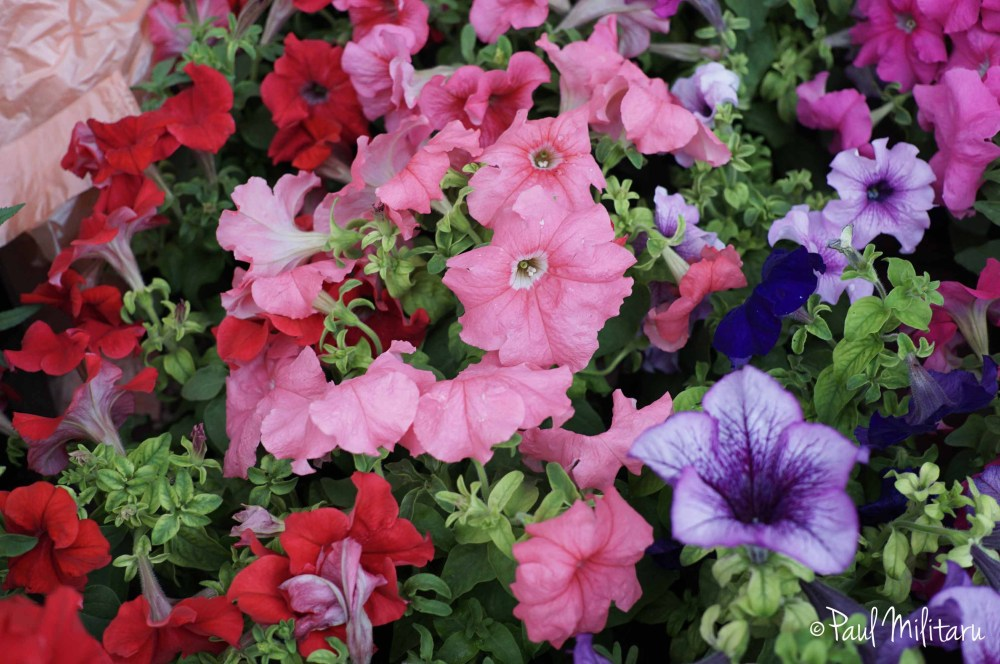 pink, red and purple petunias