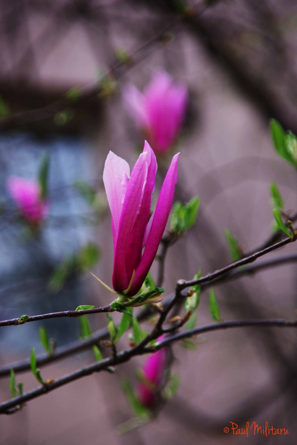 2-bud of magnolia
