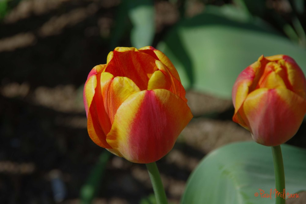 beautiful tulips 2
