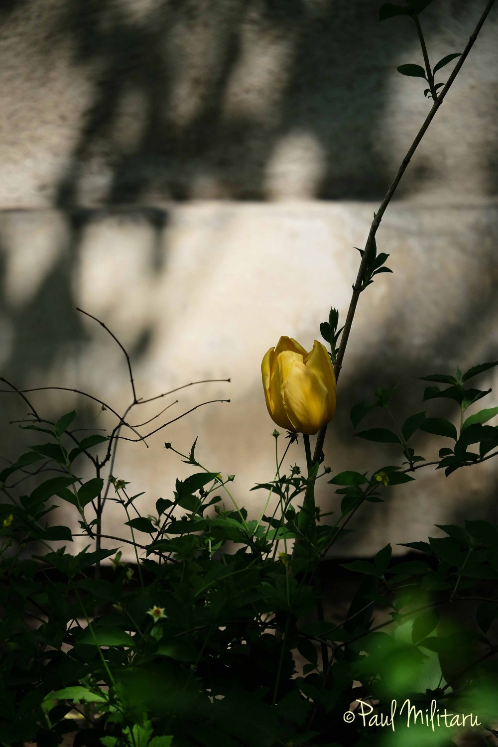 Discrete yellow tulip in shadow - Palm Sunday
