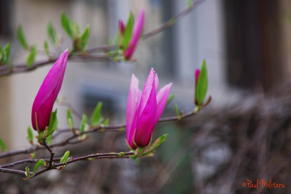 magnolias in bloom 1