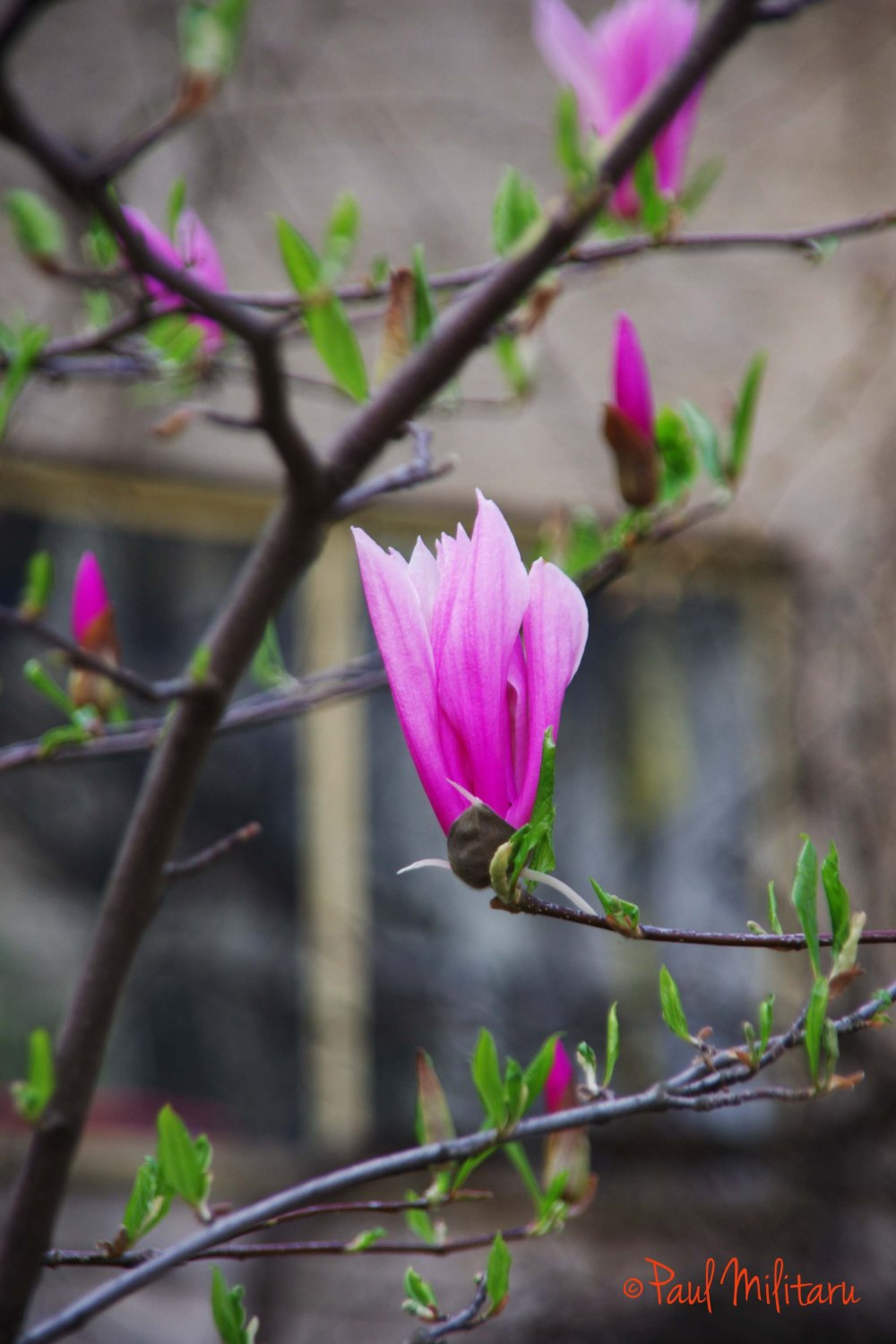 magnolias in bloom 2
