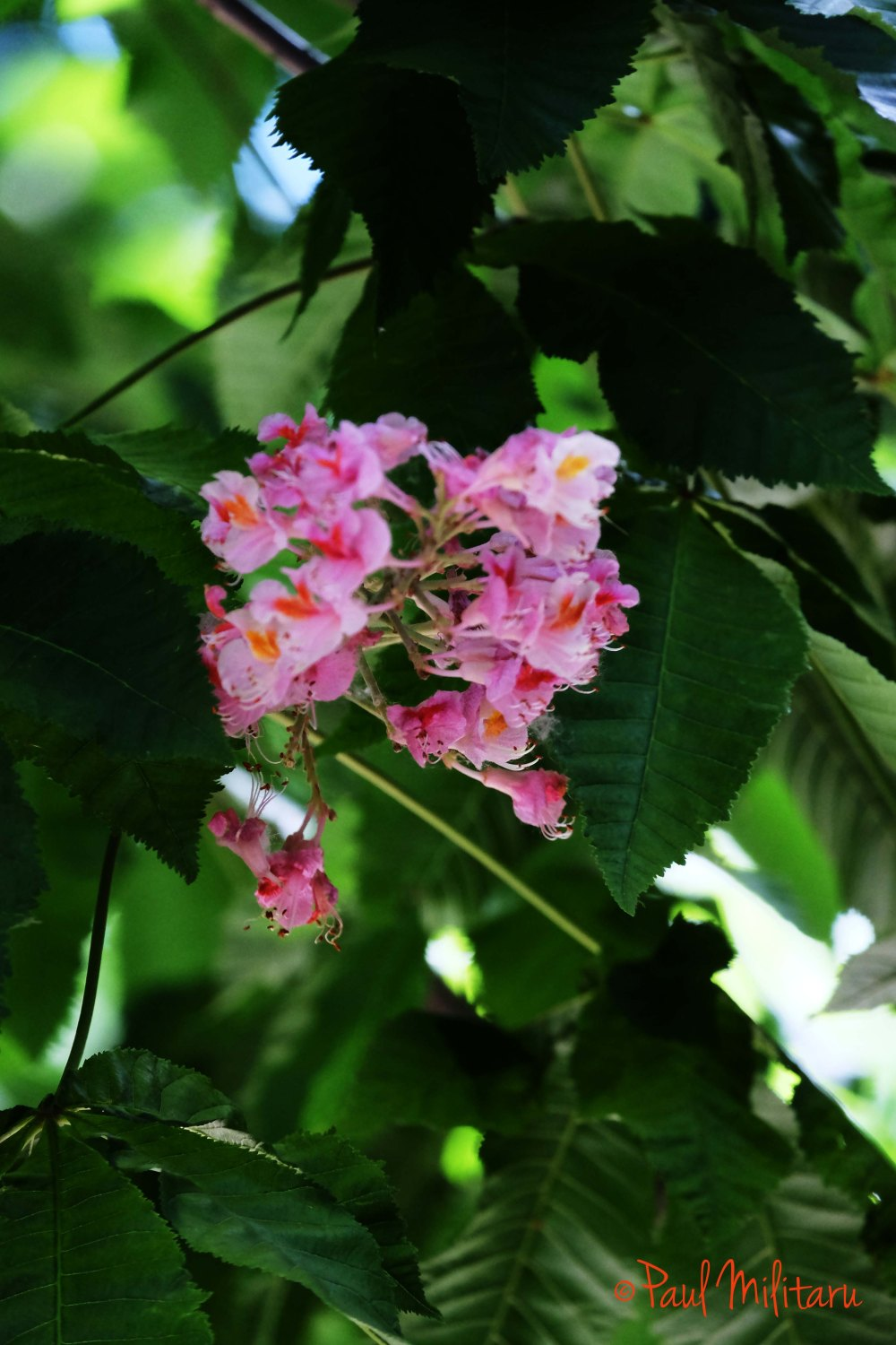pink chestnut flowers