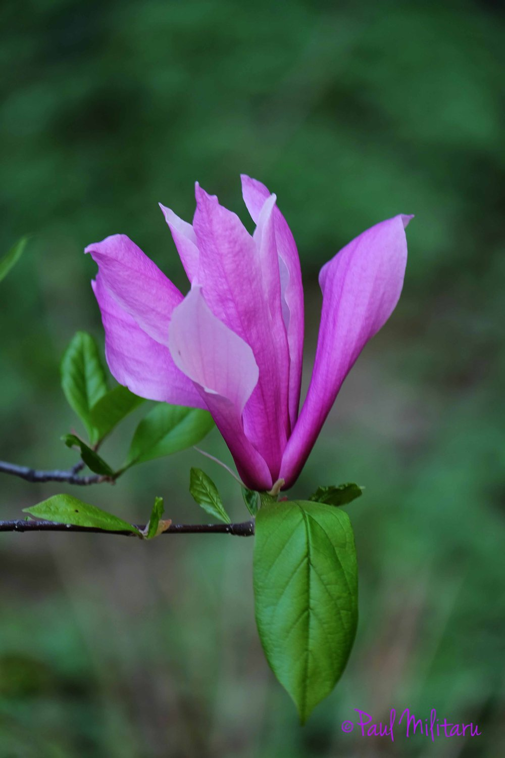 purple magnolia on a green background