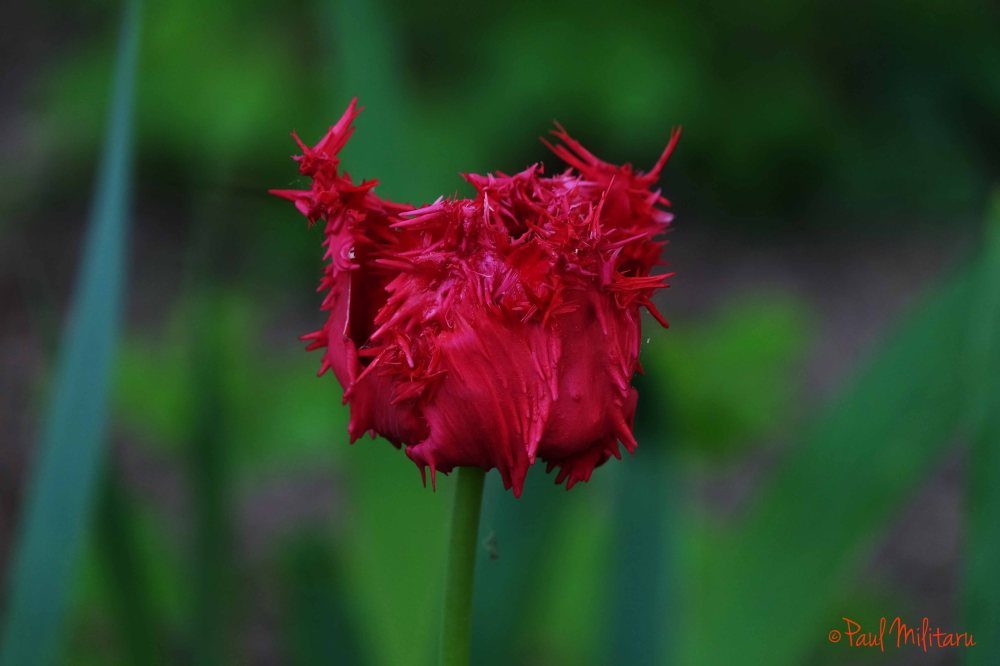 red special disheveled tulip
