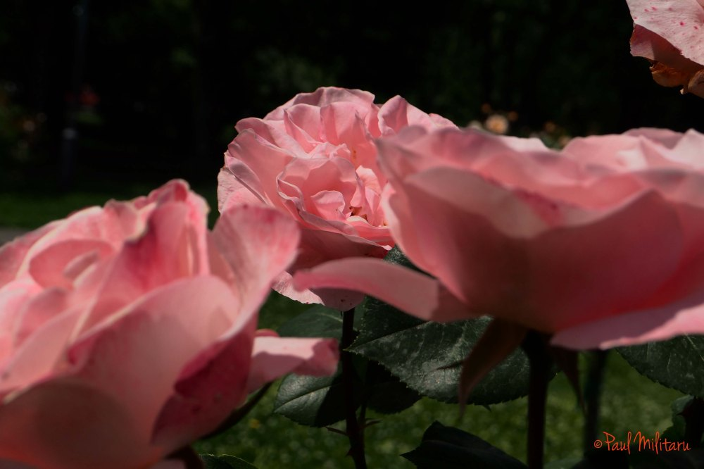 Three beautiful pink roses - Palm Sunday