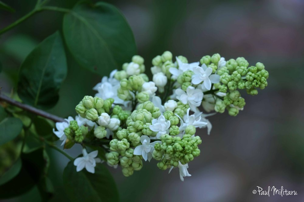 White lilac in bloom - Palm Sunday