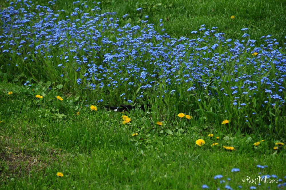 blue flowers of forget-me-not