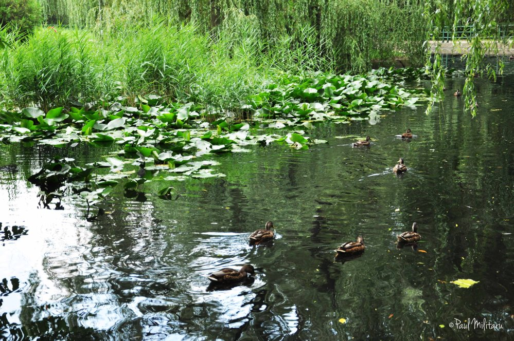 the mirage of ducks on the lake