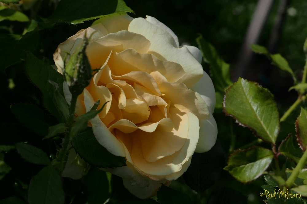 yellow-cream rose