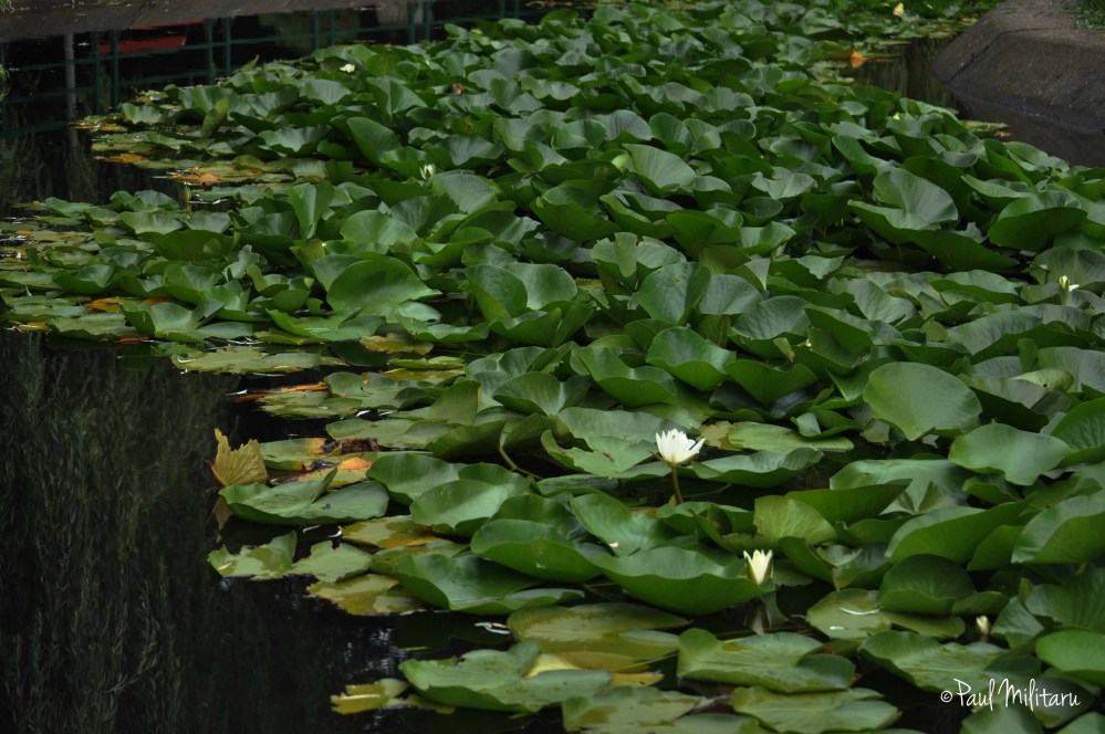 creative mother nature - white water lilies