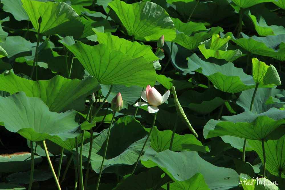 delicate water lily