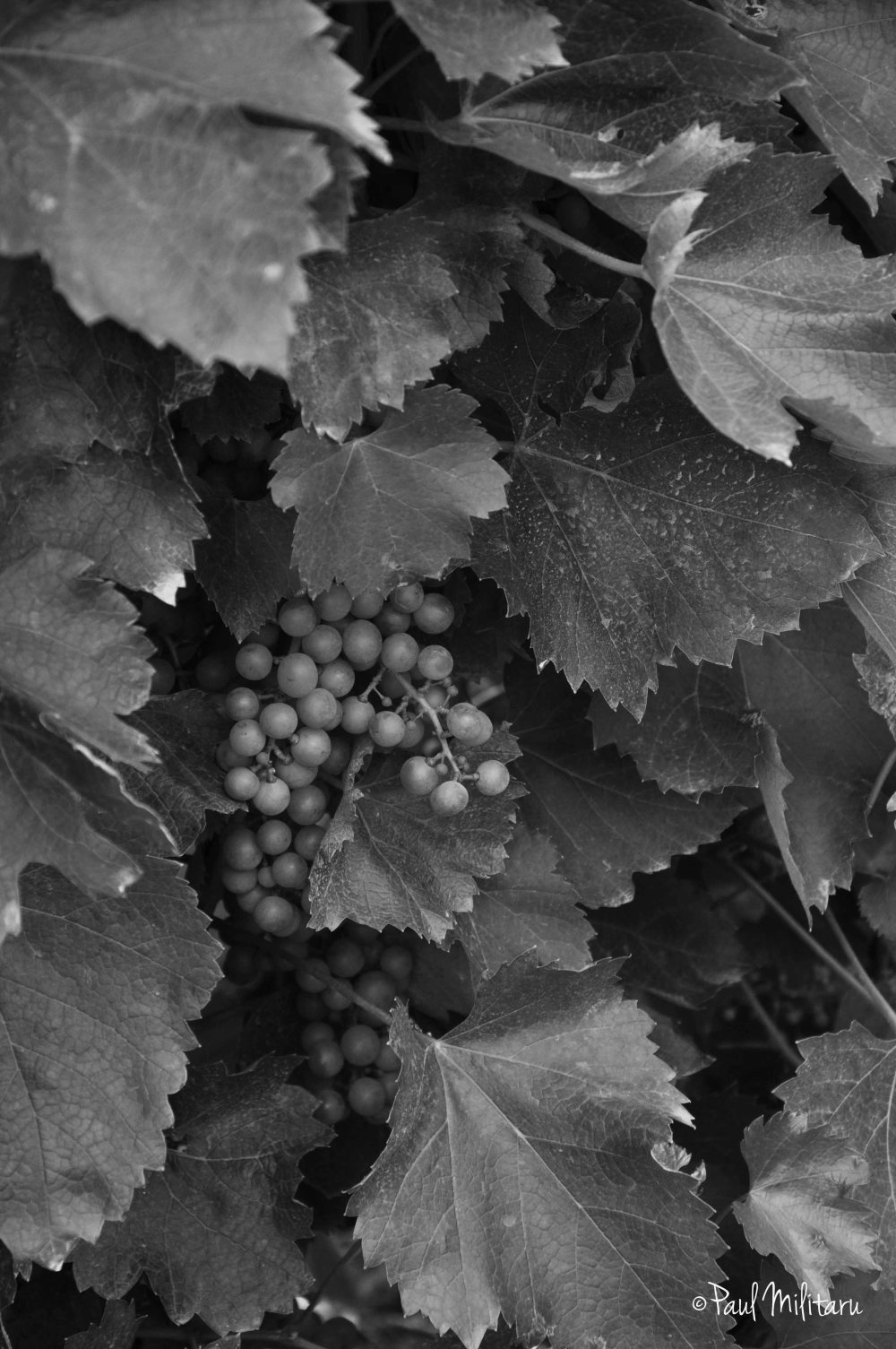 grapes in black and white