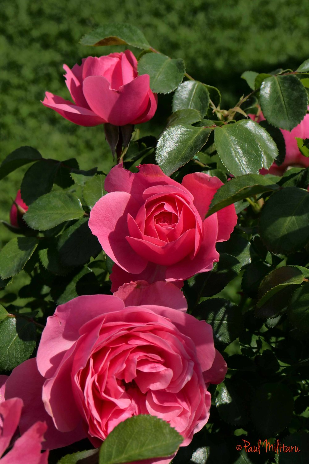 pink roses in three stages of life