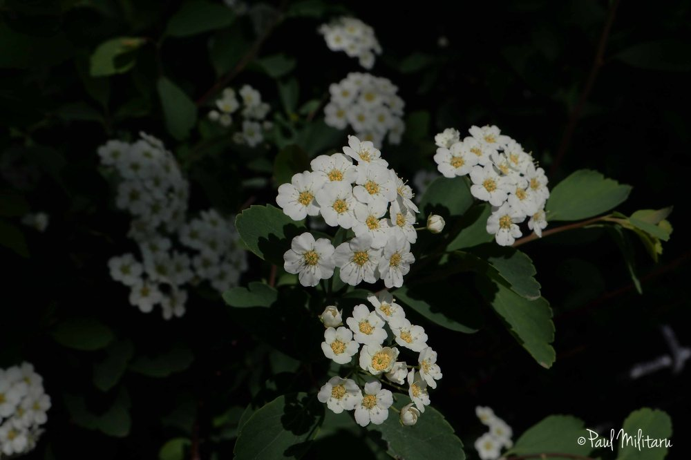 purity of June 1st - white little flowers