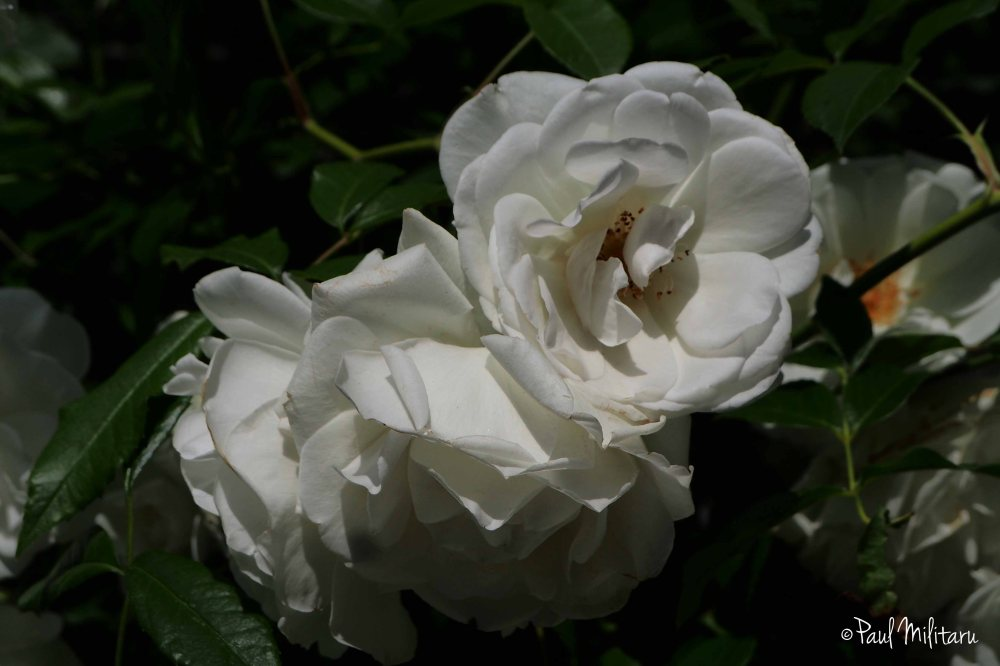 purity of June 1st - white roses