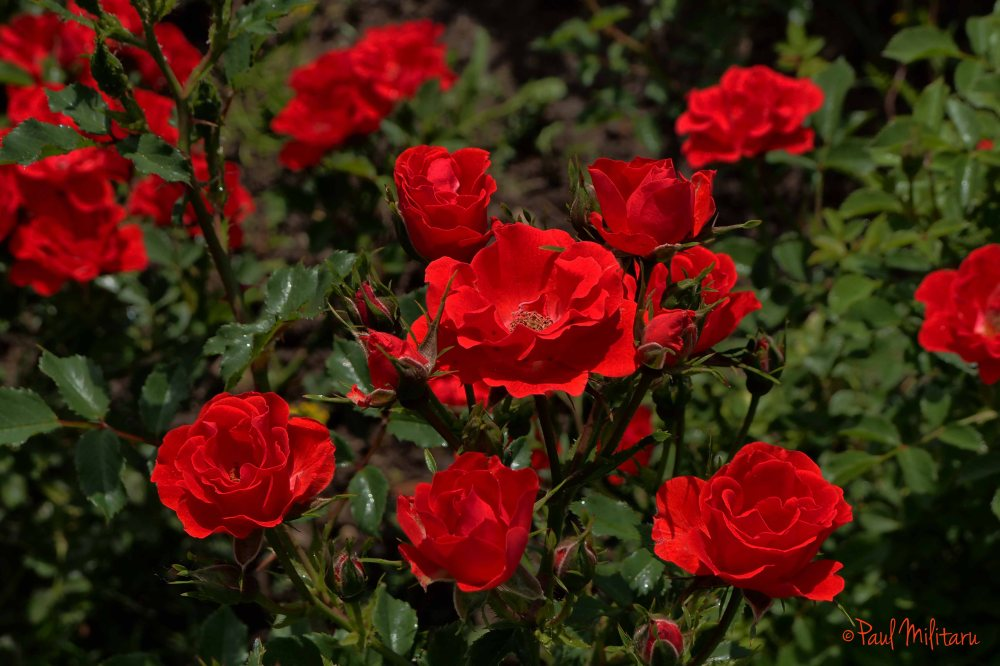 red roses for...you