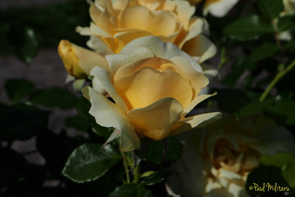 series of yellow roses