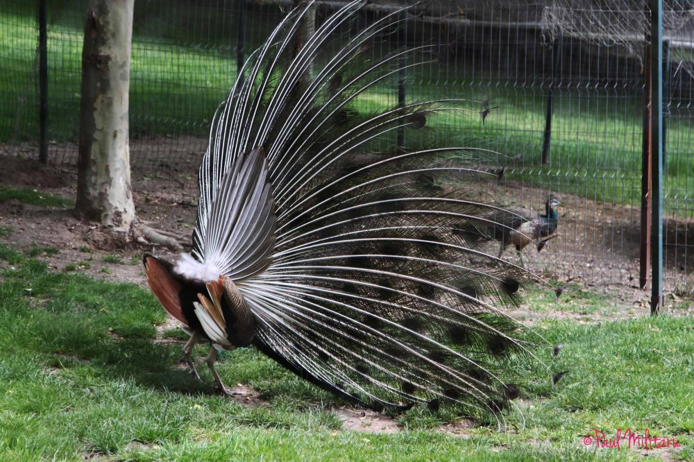 the butt...of an flatulent peacock