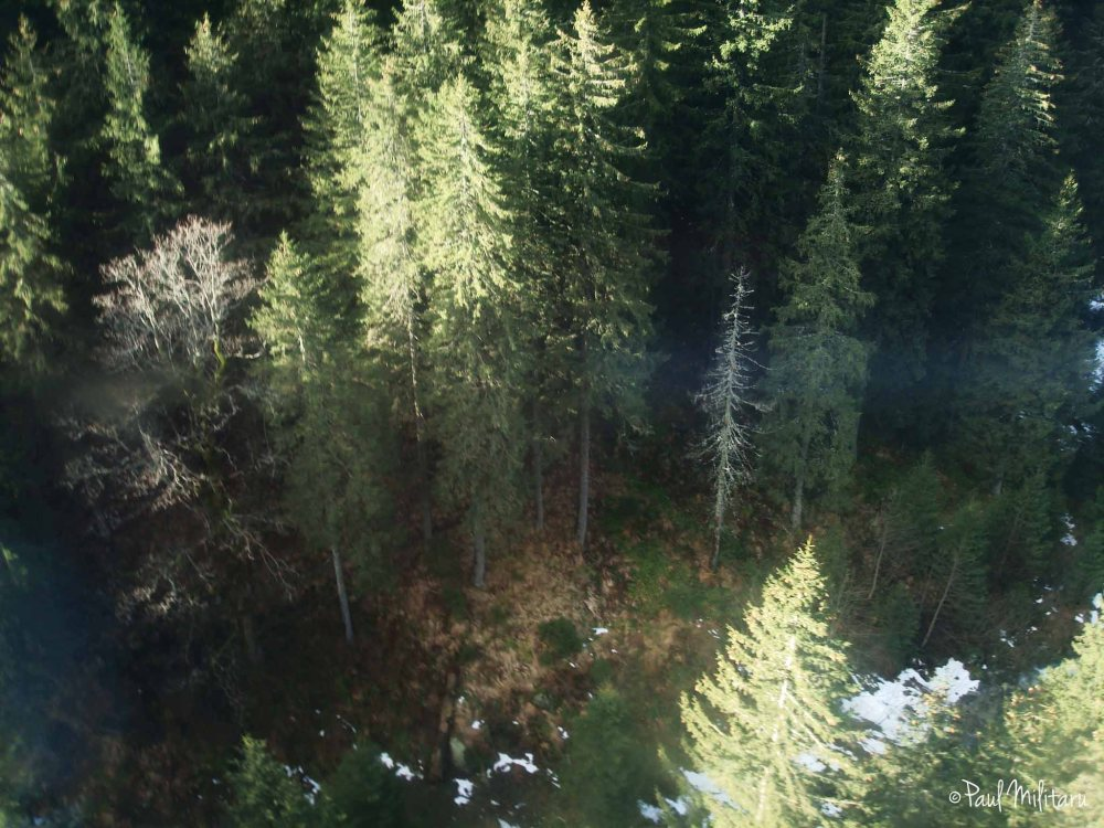 fir trees - photo taken from the cable car
