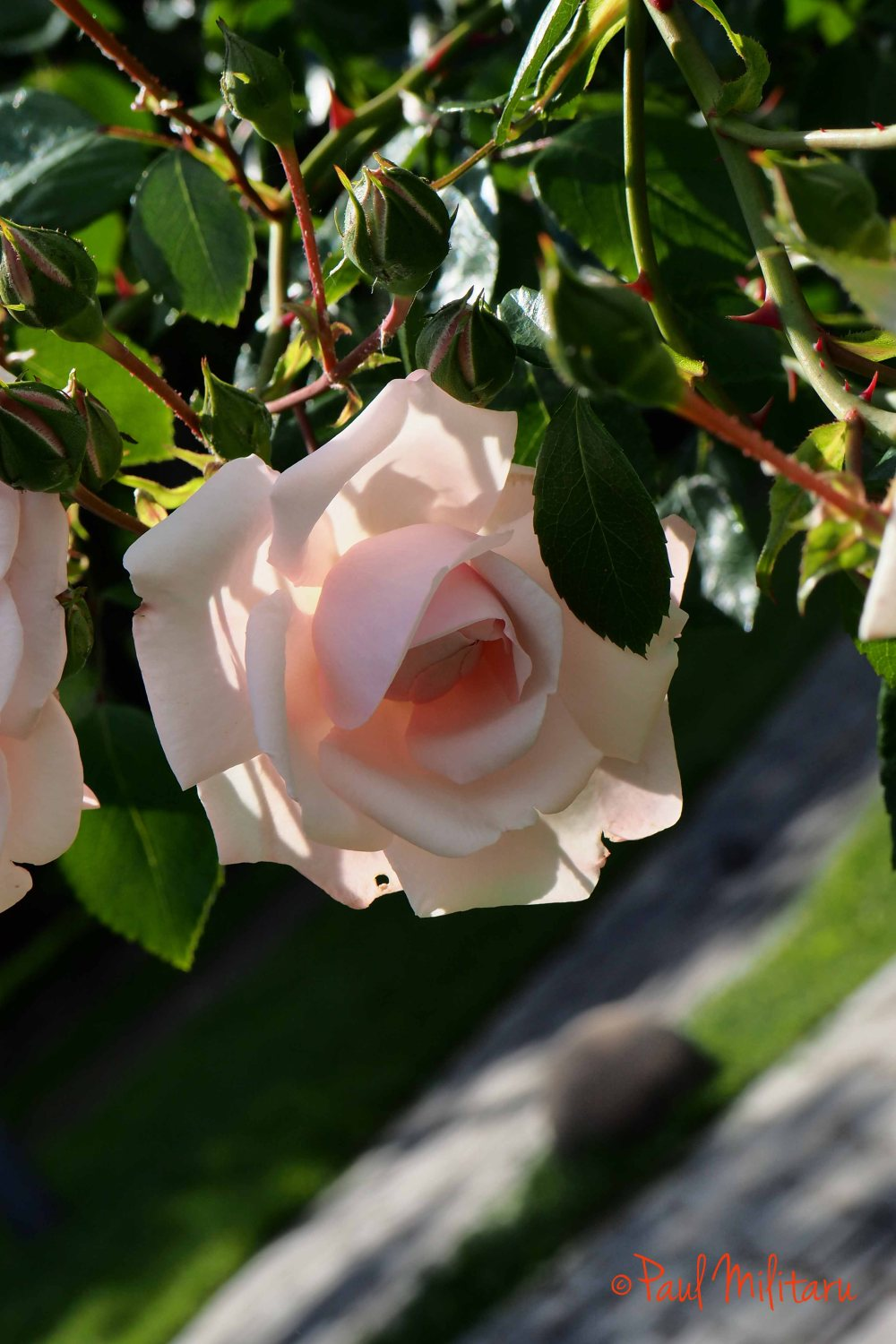 pink rose - photo made it from a special position