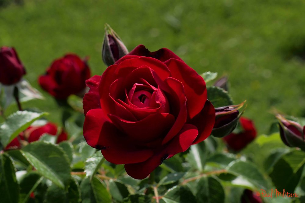 red angel rose