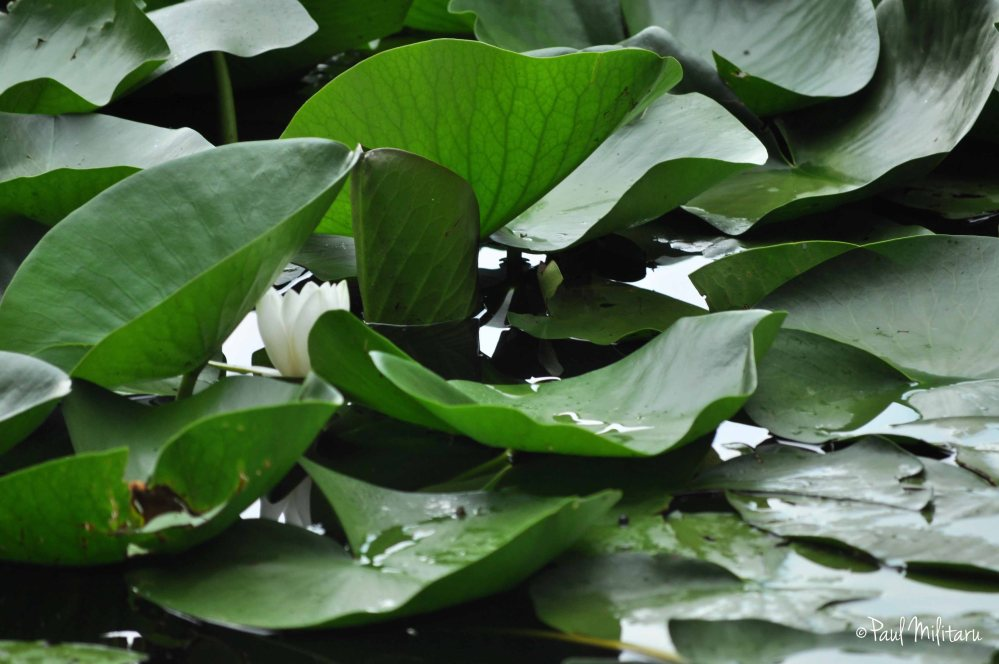 white water lily among the leaves