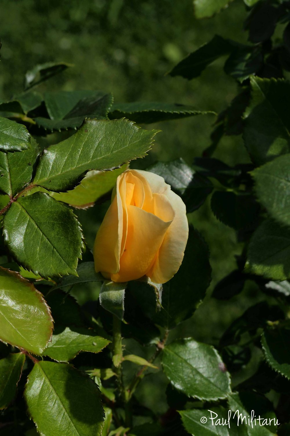 yellow bud rose in bloom