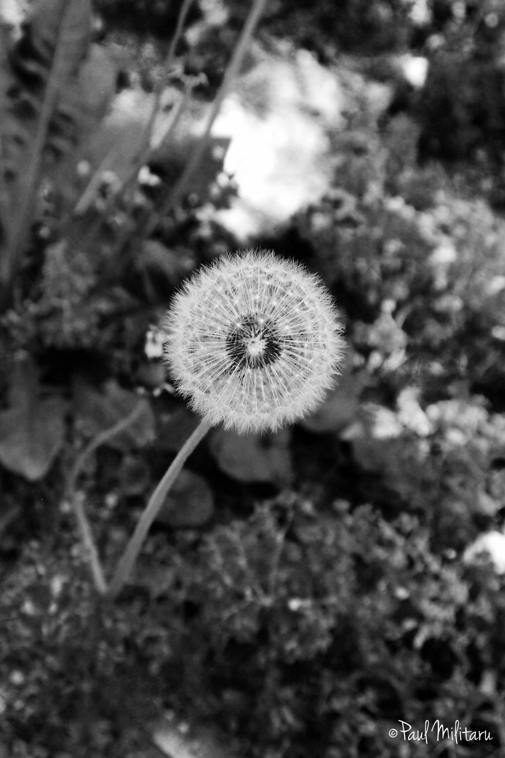 dandelion in black & white