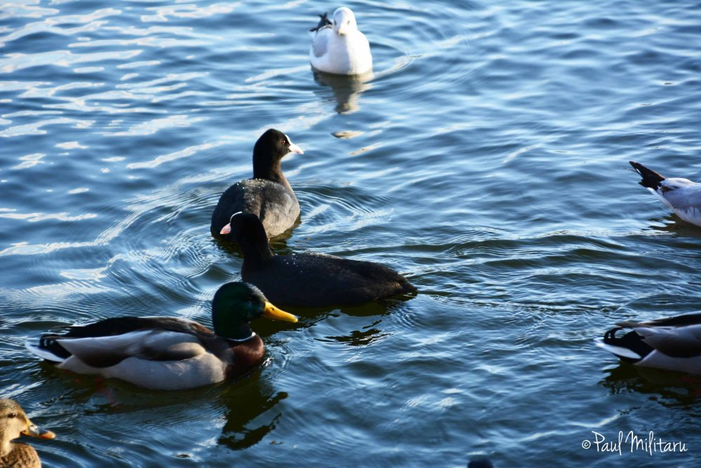ducks, coots and seagulls