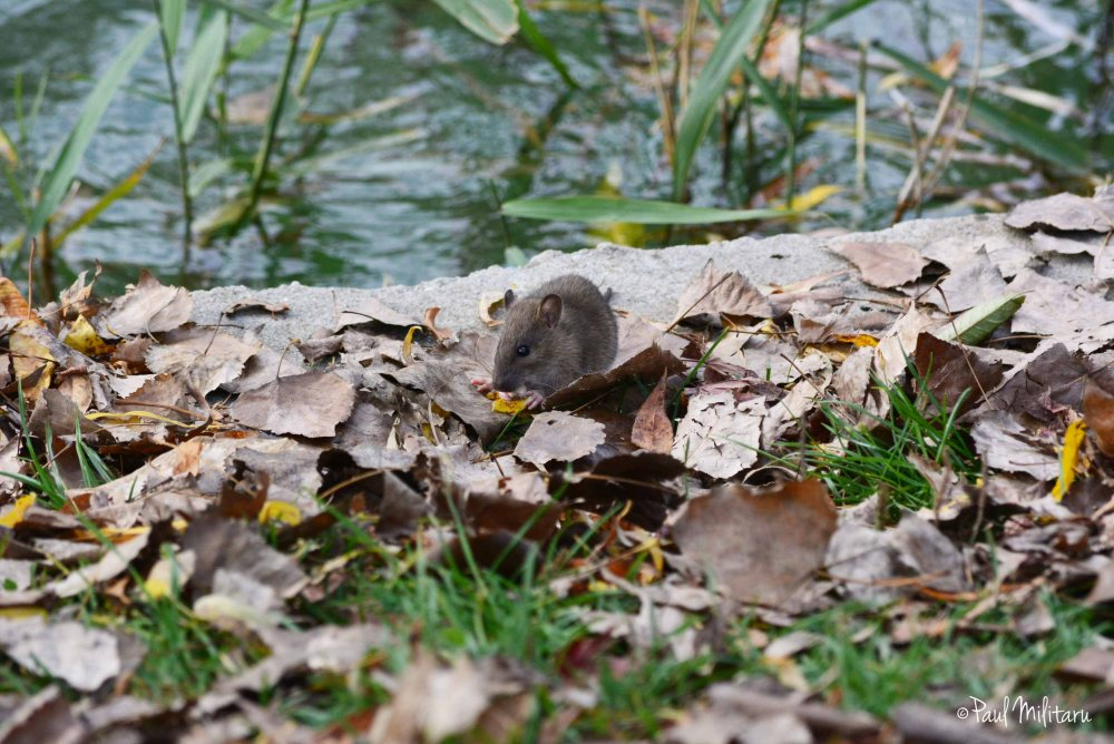 little rat among the leaves