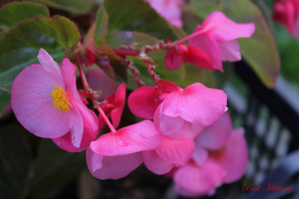 pink ornamental flowers
